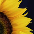 """Closeup of a Sunflower"" stock image"