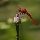 """Dragonfly (Rosa) (II)"" stock image"