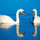 """""""Swan Gossip"""" stock image"""