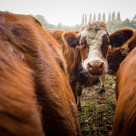 """""""Cow in the Center"""" stock image"""