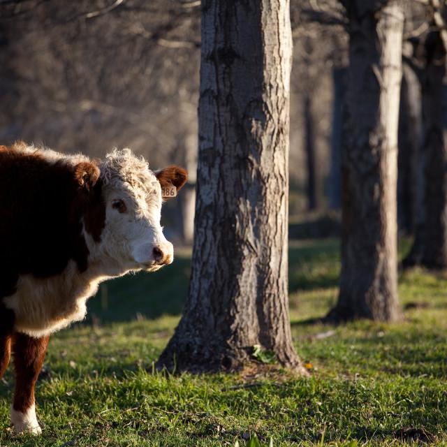 """Peeking Cow"" stock image"