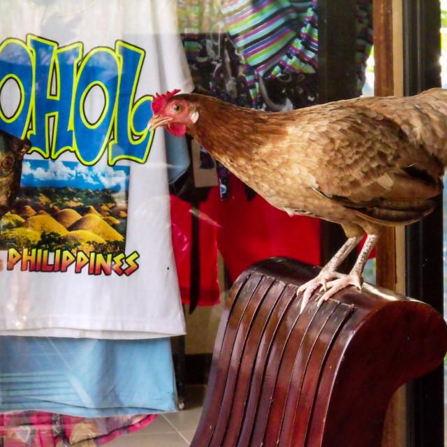 """Brazen hen in Bohol, Philippines"" stock image"