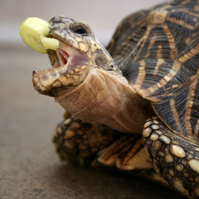 """""""Snapping Tortoise"""" stock image"""