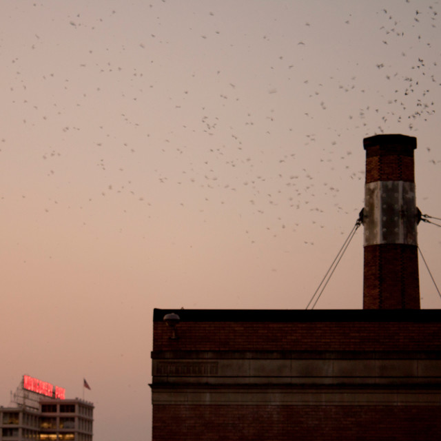 """Swifts at the Chapman School"" stock image"