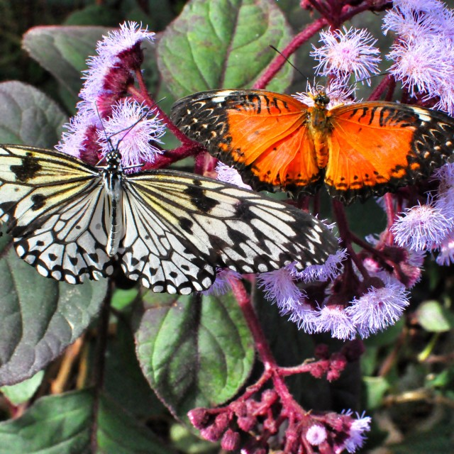 """""""Butterfly's"""" stock image"""