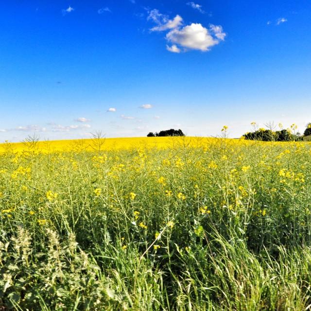 """Mustard Field"" stock image"
