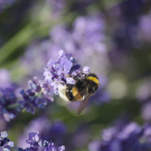 """Bee and Lavender"" stock image"