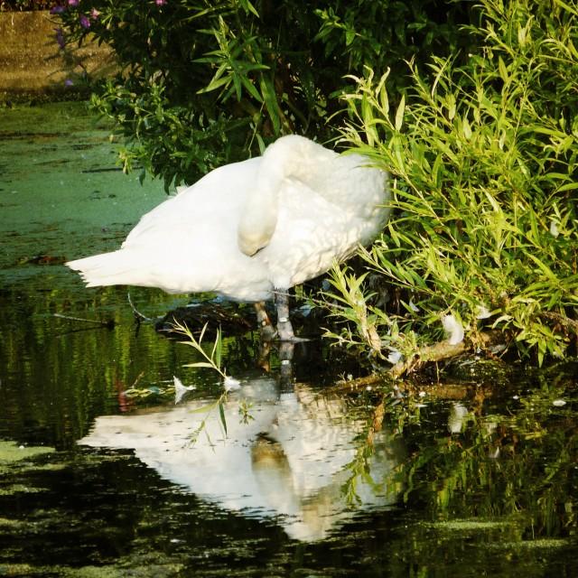 """Shy swan"" stock image"