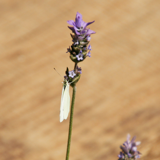 """""""Lavender & Butterfly"""" stock image"""