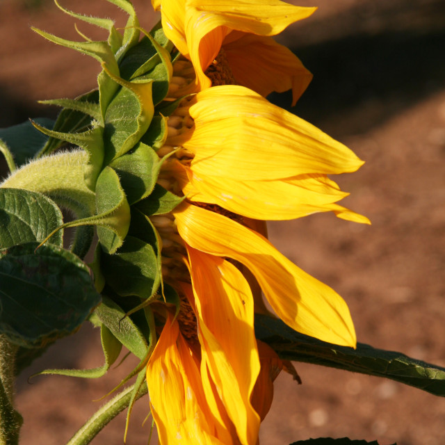 """Sunflower Profile"" stock image"