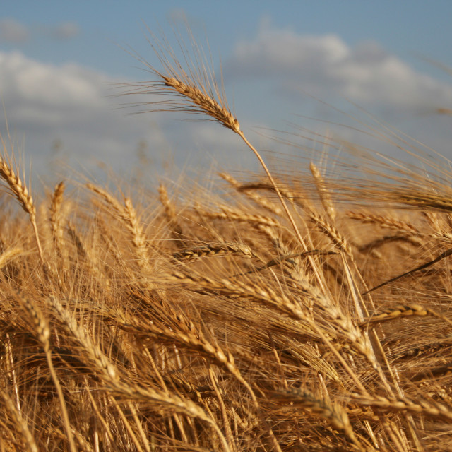 """Wheat"" stock image"