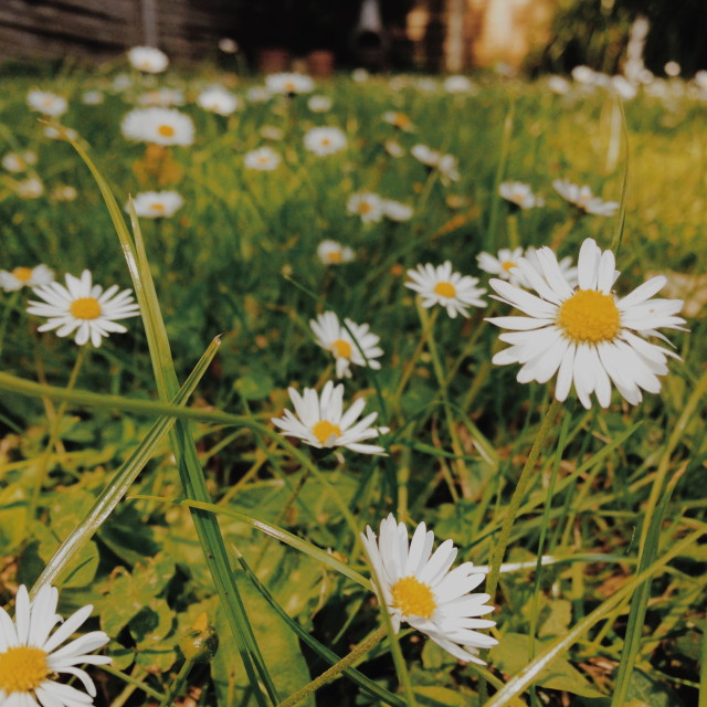 """Daisies in my garden"" stock image"