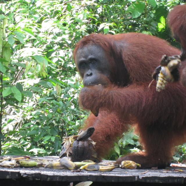 """Orangutan Eating"" stock image"