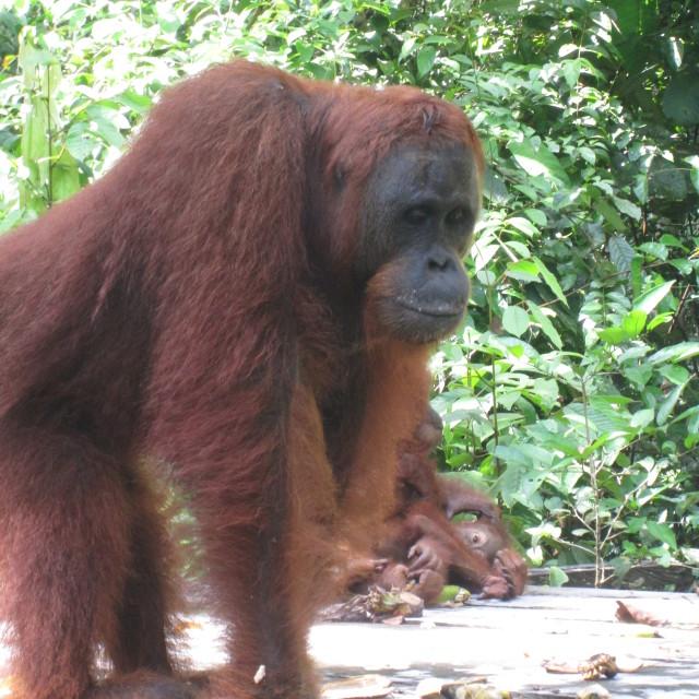 """Orangutan Pondering"" stock image"