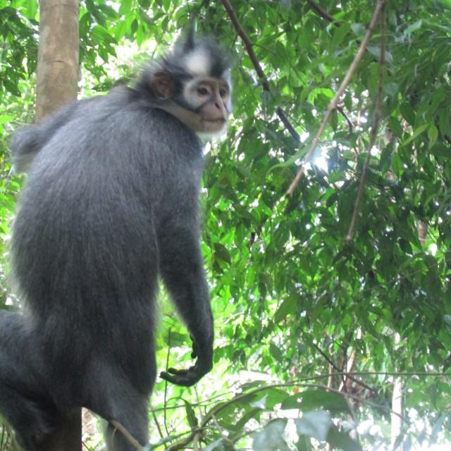 """""""Thomas Leaf Monkey"""" stock image"""