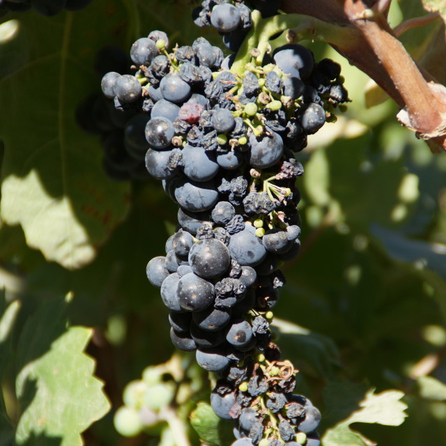 """Napa Valley Grapes"" stock image"
