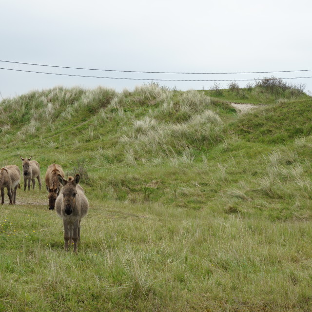 """Donkeys in the Dunes"" stock image"