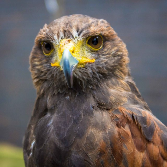 """""""Falcon looking straight at you"""" stock image"""