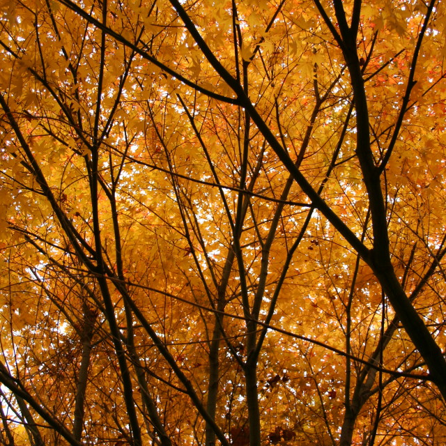 """Autumnal leaf canopy"" stock image"