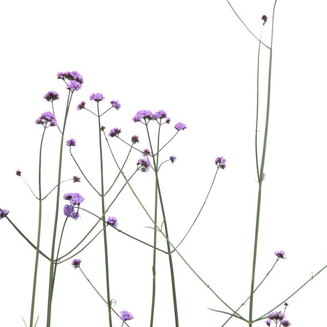 """""""Flowers (verbena bonariensis)"""" stock image"""