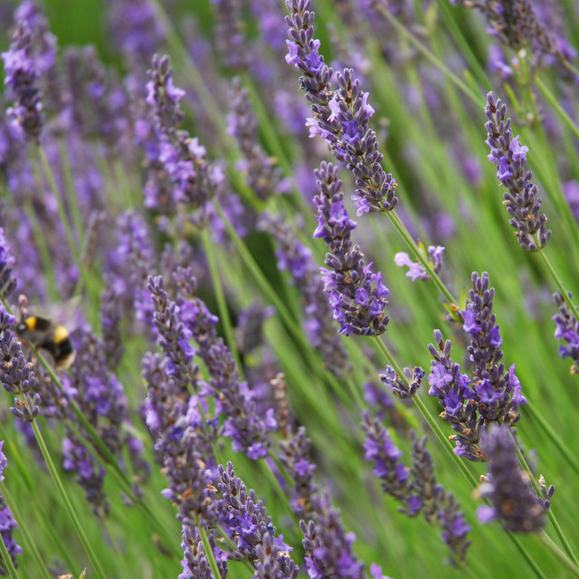 """Bee on lavendar"" stock image"