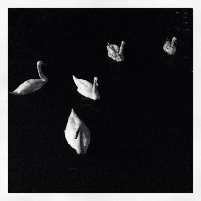 """Swans on black"" stock image"
