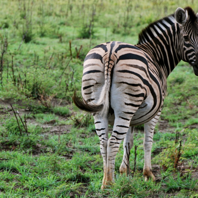 """Zebra, South Africa"" stock image"