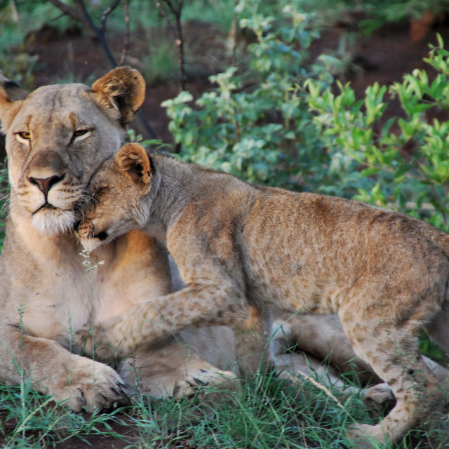 """Lioness and cub"" stock image"