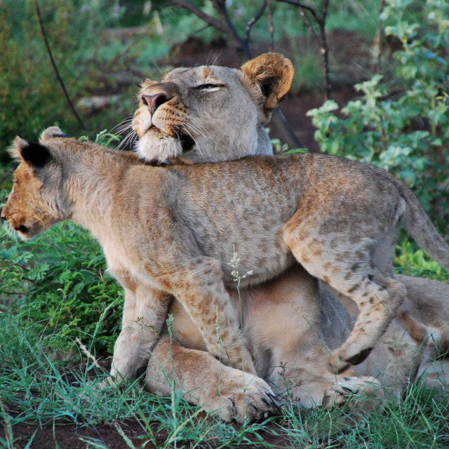 """Lioness and cub 2"" stock image"