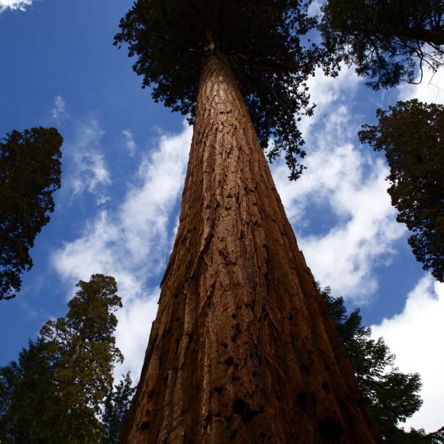 """Tall Tree"" stock image"