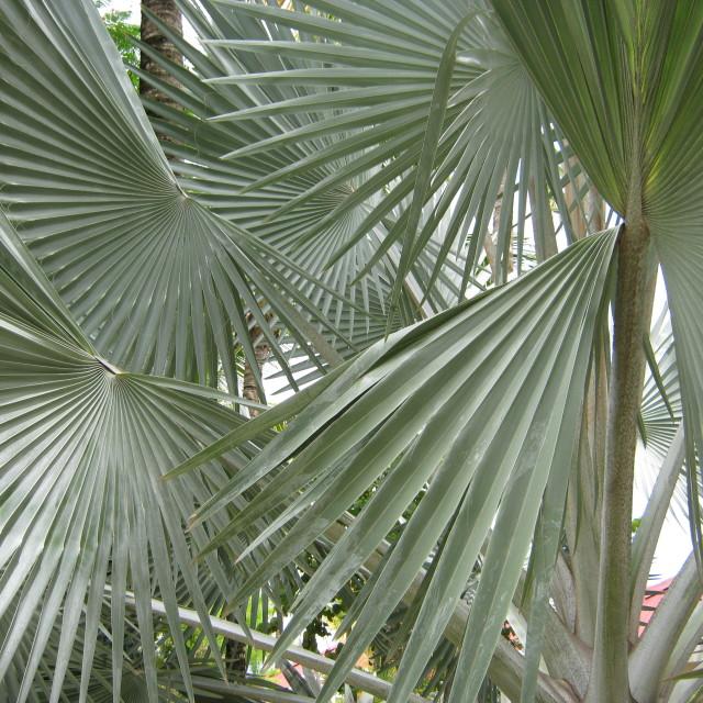 """Beautiful Palm Tree"" stock image"