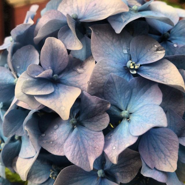 """Beautiful Blue Hydrangea"" stock image"