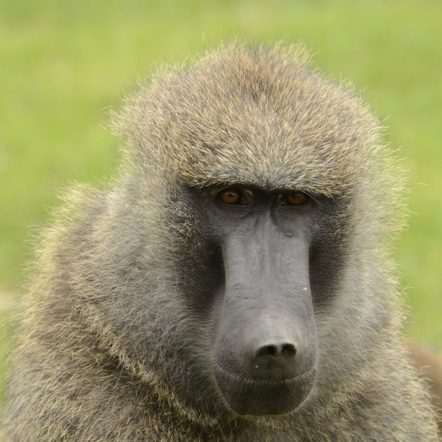 """Blue Steel Baboon"" stock image"
