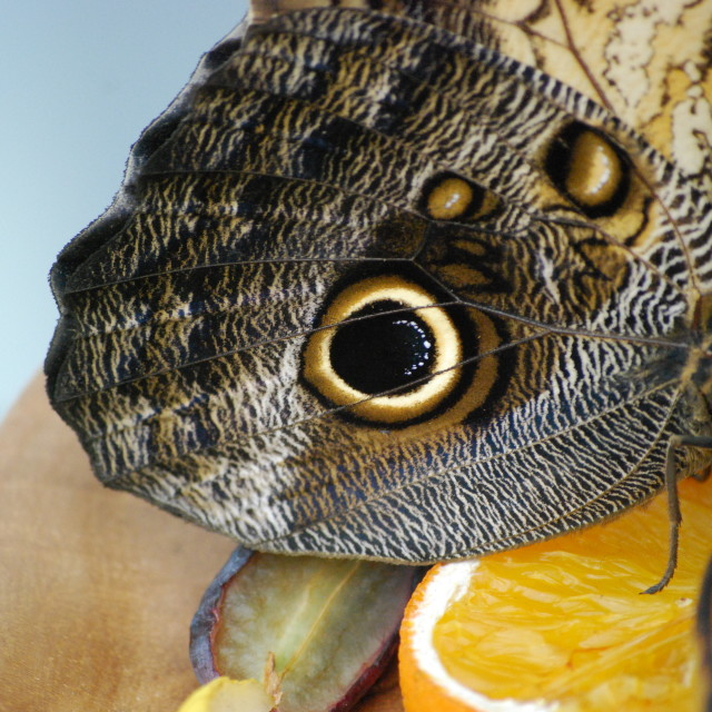 """Owl butterfly"" stock image"