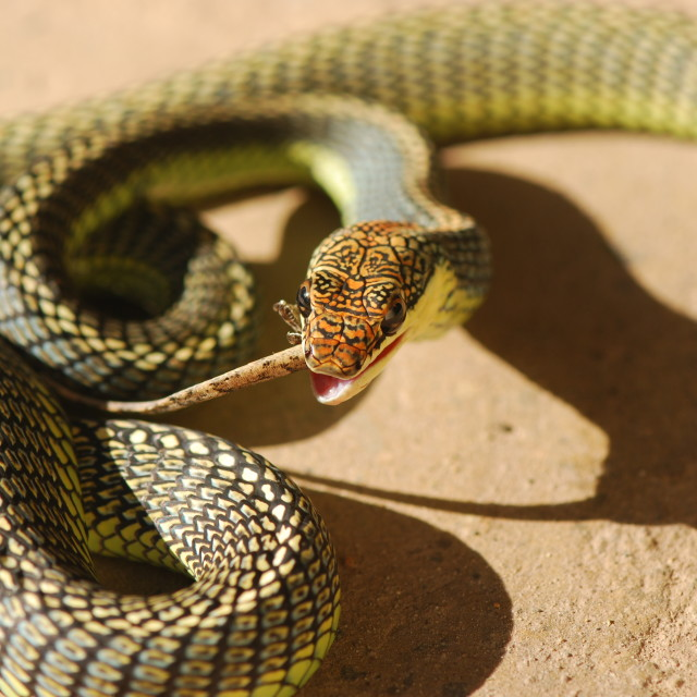 """Snake snack"" stock image"