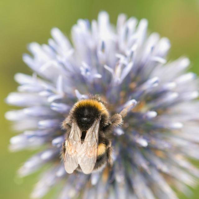 """Bumblebee on an alium"" stock image"