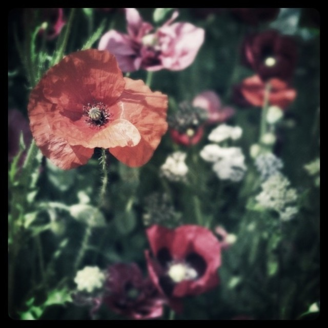 """""""Paper poppies"""" stock image"""