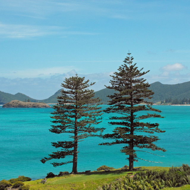 """Lord Howe Pines"" stock image"