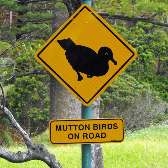 """Mutton birds on road"" stock image"