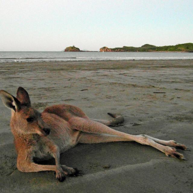 """Kangaroo on a beach"" stock image"