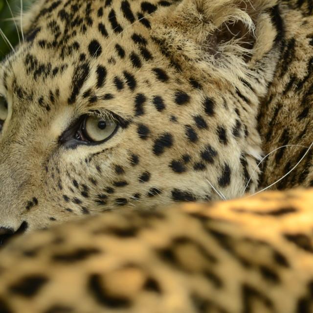 """""""Amur Leopard"""" stock image"""