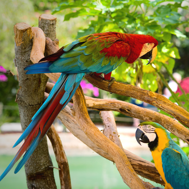 """Two macaw parrots"" stock image"