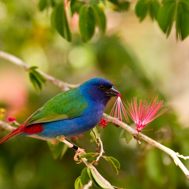 """""""Tricolor parrot finch"""" stock image"""