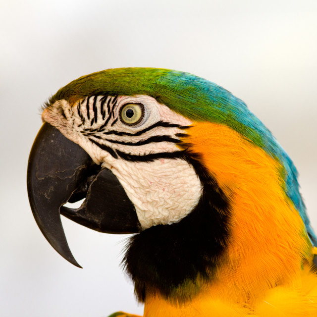 """Macaw parrot"" stock image"