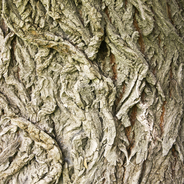 """Beautifully willow tree bark for background"" stock image"