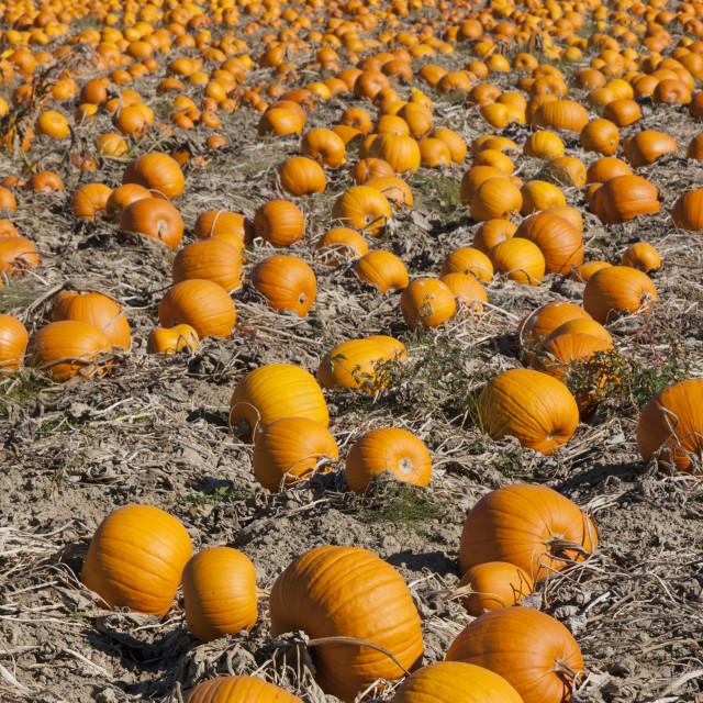 """Pumpkin Patch"" stock image"
