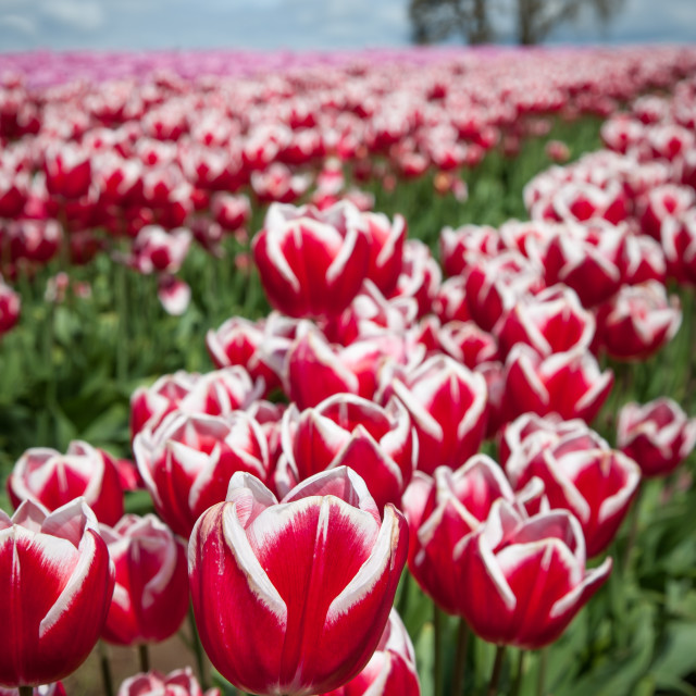 """Tulip Festival"" stock image"