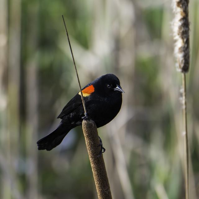 """Blackbird on reed"" stock image"