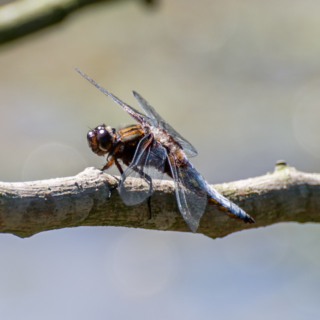 """""""Broad-Bodied Chaser"""" stock image"""