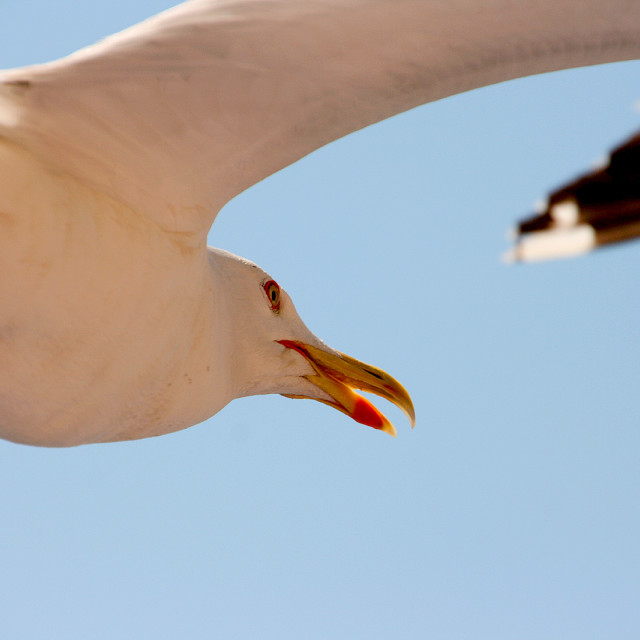 """Closeup of a seagull flying"" stock image"